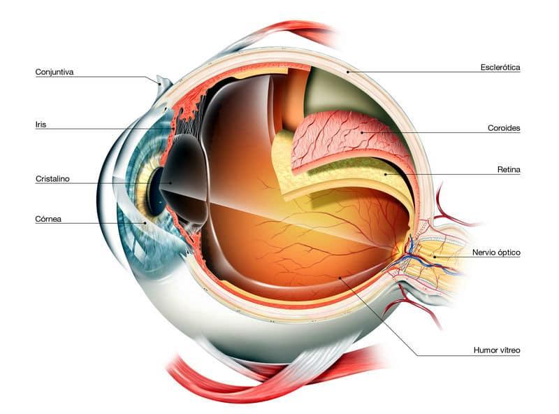 Las Partes del👁️Ojo Humano: Anatomía y Cómo Funciona | Brill Pharma