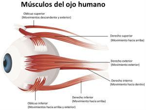 Músculos del ojo humano