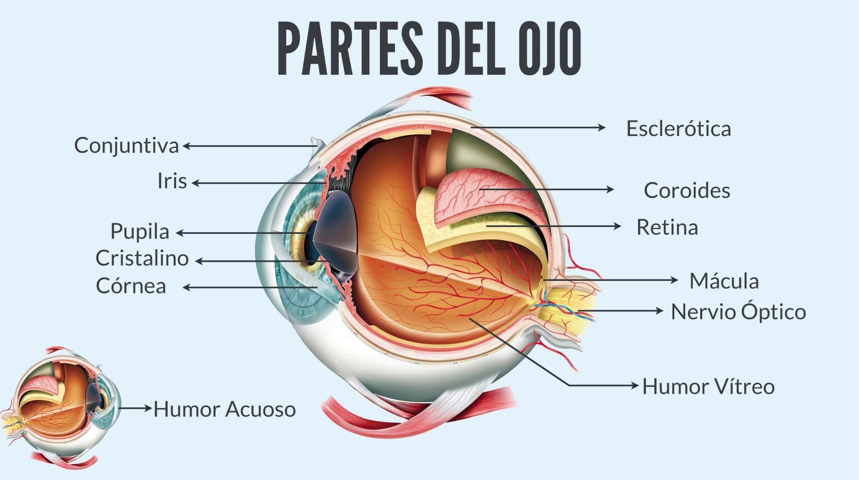 ᐅ Las 12 Partes Del Ojo Humano Conoce Su Anatomía