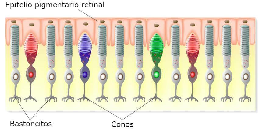 Estructura de la Retina