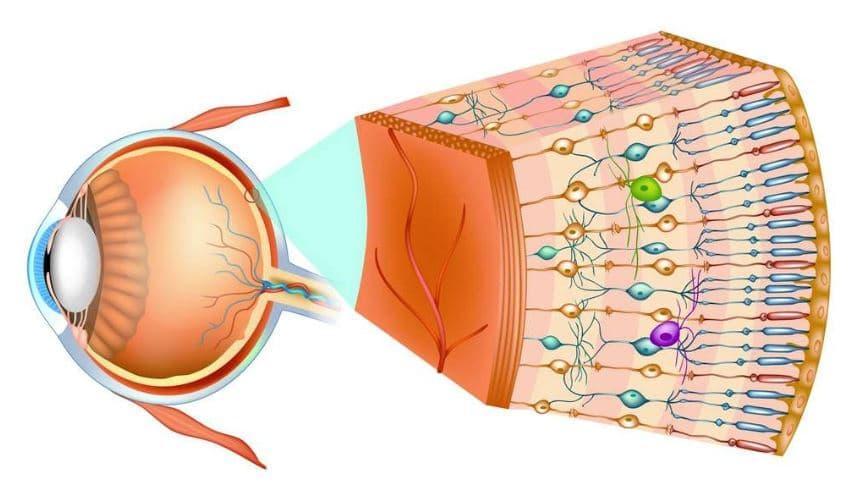 Retina del ojo humano