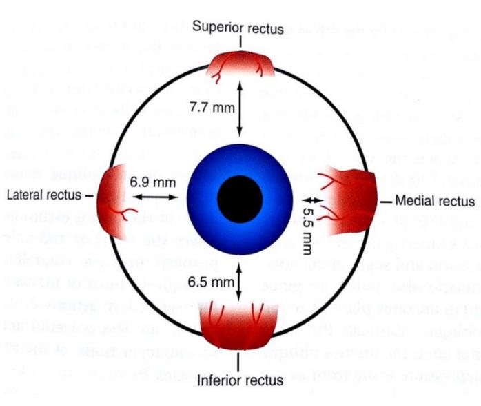 Cara lateral de los músculos del globo ocular