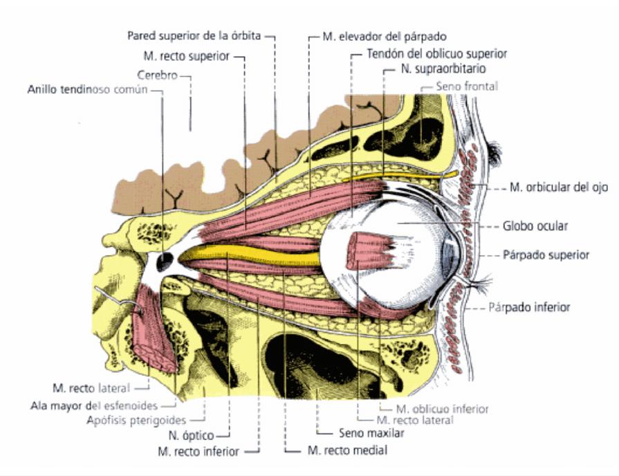 Musculos del globo ocular, vista superior,ojo derecho
